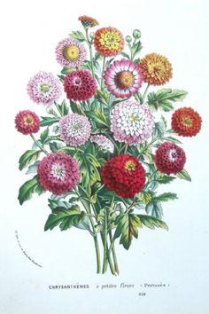 FLOWER, CHRYSANTHEMUM, Van Houtte,Original Antique Botanical Print c1850