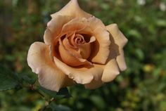 Julia's Rose   Ludwigs Roses : This truly individualistic 'brown' rose really catches the eye with her tones of beige, not unlike milk coffee, plus her variable shades of gold & mauve in the sun. The pointed, medium sized blooms are produced on good cut flower stems. A'must' for flower arrangers. Stunning in a vase on the coffee table.