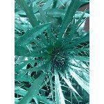 Green Teal Thistle flower