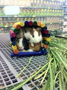 On slow days in the pet store, the guinea pigs would build a fort....