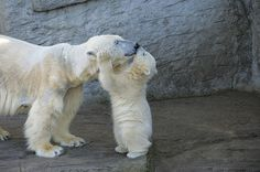 Mother polar bears nuzzle muzzles with their cubs to demonstrate affection and strengthen bonds, Vienna Zoo. #ZoobornsMotherlyLove Credit: Daniel Zupanc