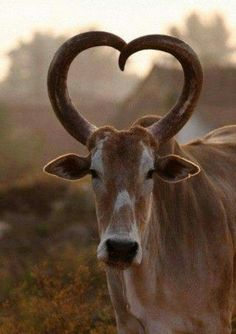 The horns serve as a symbol of beauty. So here are some Beautiful Pictures of African Animals with Horns. Animals really look very bold and charming with a pair of horns. Beautiful Creatures, Animals Beautiful, Cute Animals, Majestic Animals, Farm Animals, Animals With Horns, Heart In Nature, Flora Und Fauna, Photo Chat