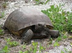 Image result for https://www.pinterest.native turtle