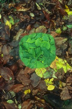 Green patch (elm) [Leaf patches edges made by finding leaves the same size tearing one in two spitting underneath and pressing flat onto one another] | Andy Goldsworthy