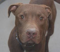 *DEXTER-ID#A685201    Shelter staff named me DEXTER.    I am a neutered male, chocolate Pit Bull Terrier mix.    The shelter staff think I am about 1 year old.    I have been at the shelter since Nov 20, 2012.