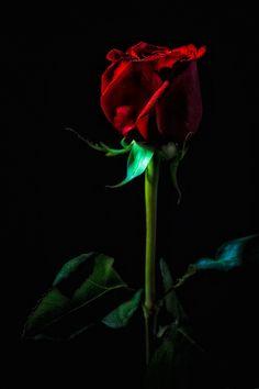 Dark, dark red rose on a black, black background...
