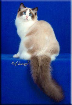 Eastern Michigan Ragdoll Cat Breeder | Supurr Ragdolls Breeder | MI Ragdoll Kittens