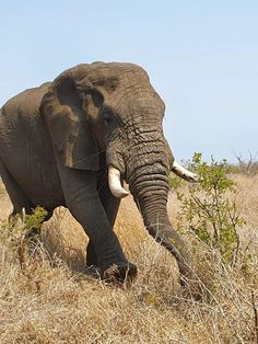 African Elephants can be either right or left tusked, just as a human is right or left-handed. Big Teeth, Elephant Sanctuary, Group Tours, African Elephant, Left Handed, Elephants, South Africa, Animals, Animales