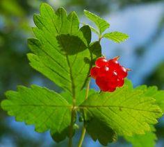 Княженика: ягода из детства | СуперСадовник