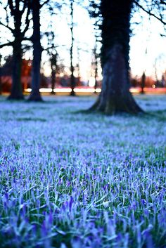 Bluebells on the Backs, Cambridge England