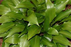 Hosta, 'Tardiflora'