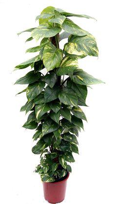 ¿Saben como se llama esta planta? yo la llamo, teléfono, - Foro de InfoJardín