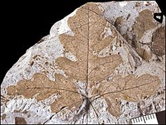 Fossil leaves, Wyoming