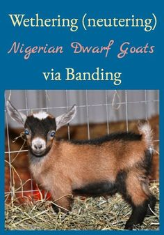 Wethering (neutering) Nigerian Dwarf goats is performed on male goat kids because not all goat kids should be herd sires. This describes how to band and Raising Farm Animals, Raising Goats, Raising Rabbits, Keeping Goats, Happy Goat, Goat Care, Nigerian Dwarf Goats, Goat Farming, Baby Goats