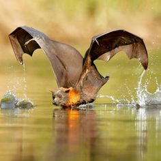"""4,446 Likes, 40 Comments - Wildlife Animals & Nature (@wildlife.hd) on Instagram: """". Balancing act... Photography by @ (Ofer Levy). This Grey-headed Flying Fox was captured while…"""""""