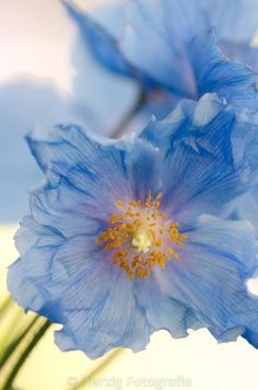 Photo Meconopsis betonicifolia - Himalaya-Scheinmohn by Tina & Horst Herzig Photography