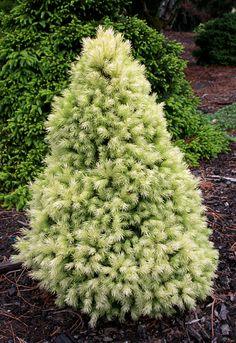 Dwarf Alberta Spruce 'J.W. Daisy White' Picae glauca ~  spring growth is yellow green then lightens to a creamy white, by summer it has turned to blue-green. Height at maturity 3 ft. (1m) Zones 2-6