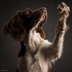 English Springer Spaniël, Ebby #dogs #spaniels #gundogs