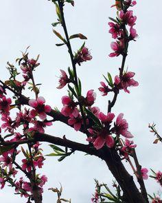 #nature#tree#cherry#flowers#pink#<3#:)#Hungary#green