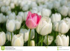 Tulipano Dentellare In Un Mare Dei Tulipani Bianchi - Scarica tra oltre 40 milioni di Foto, Immagini e Vettoriali Stock ad Alta Qualità . Iscriviti GRATUITAMENTE oggi. Immagine: 5289683
