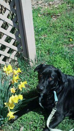 Maddie - Available for Adoption through Brookline Retriever Rescue #labrador #blacklab