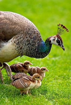 Peahen & chicks by Eva