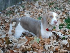 LILAC BEAGLE WITH BLUE EYES- Totally Sam in a year or so!