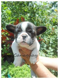 hermoso cachorrito bulldog frances del criadero canaguay, tierno frenchie, bulldog frances en colombia, cachorros en venta bogota