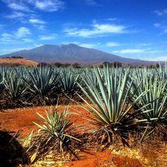 Take me back #casaherradura #amatitan #jalisco #gdl #Guadalajara #tequilaherradura #herradura #agave #tequila #bestone #besttequila #tequilapremium #premium #memories #bluesky #sky #blue #landscape #montain by diegoti March 30 2016 at 02:37PM