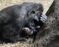 baby gorilla photos - Google Search