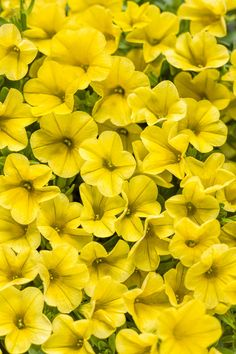 Proven Winners Superbells Yellow (Calibrachoa) Live Plant, Yellow Flowers, in. Grande, - The Home Depot Shade Plants, All Plants, Types Of Plants, Live Plants, Flowering Plants, Growing Plants, Love Flowers, Yellow Flowers, Colorful Flowers