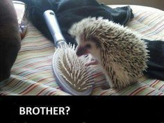 Hedgehog- they do feel like hair brushes when they relax their quills! (spines, actually)