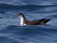 Audubon Shearwater floating on the Atlantic Ocean off Maryland waters.