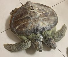 By Stacey Venzel In Mexico, the government protects sea turtles with militia members patrolling the [. Tortoises, Critical Thinking, Marine Life, Turtles, Battle, Mexican, Animals, Animais, Animales
