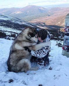 Alaskan Malamute Dog Breed Information, Popular Pictures - Dogs - Puppies Siberian Husky Puppies, Husky Puppy, Siberian Huskies, Cute Dogs Breeds, Dog Breeds, Husky Breeds, Cute Puppies, Dogs And Puppies, Corgi Puppies