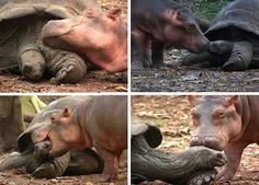 After a tsunami, survivor and 650 pound baby hippo Owen imprinted on 130-year-old tortoise Mzee. At Haller Park wildlife sanctuary in Mombasa, Kenya, Owen started following Mzee everywhere. The two became inseparable BFFs.