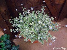 A Felicia Amelloides e um Subarbusto, pertence à família Asteraceae, nativa da África do Sul, perene, densamente ramificado, com crescimento rápido, de .....