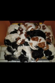 Cavalier dog pile! Overload of cuteness.