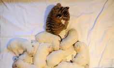 Looking a little odd one out, an orphaned tiger cub being cared for by Swiss Shepherd dog, Talli, rests near Talli's own cubs in the Russian Black Sea resort of Sochi. Three tiger cubs born last month in Oktyabrsky Zoo in Sochi were abandoned by their birth mother are now part of Talli's family.