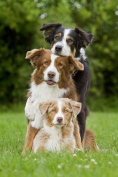 Tres Border collies posando :)
