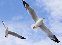 Seagull Flying On The Blue Sky Stock Images - Image: 17192704