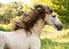 Kamikai - 2012 Revised PRE Stallion and Gold Medal Movement Champion Alter Real, All Horse Breeds, Horse Photography, Photography Ideas, Andalusian Horse, Friesian, Equine Art, Animals Images, Horse Hair