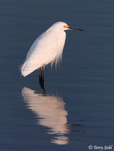 Snowy Egret, Elkhorn Slough, CA--see them as far north as South Dakota now.