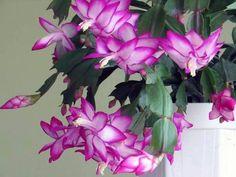 Como cuidar de flor de maio - 6 passos (com imagens)