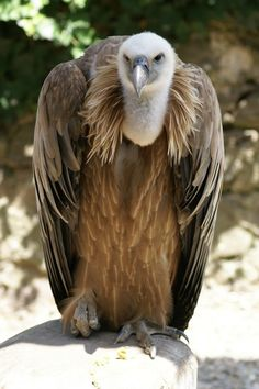 http://faaxaal.forumgratuit.ca/t1170-photos-de-rapaces-vautour-fauve-vautour-griffon-gyps-fulvus-vultur-fulvus-griffon-vulture?highlight=Gyps