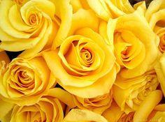 yellow roses :) my favorite flower!