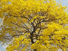 Ipê amarelo, Handroanthus albus, árvore símbolo do Brasil, esse é um exemplar plantado perto de minha casa. em plena floração, começando a Primavera.....