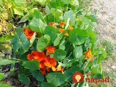 Growing in poor soil with no added fertilizer, blooming from early Summer to frost. Prefers direct or indirect sunlight. Useful companion plants. How To Attract Birds, Grow Your Own Food, Companion Planting, Flower Seeds, Diy Food, Bloom, Herbs, Vegetables, Flowers