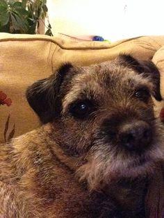 Oscar selfie. Boarder terrier.<< looks just like Willie when he has been groomed!