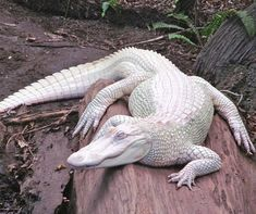 Beautiful Albino Alligator Una especie rara de cocodrilo